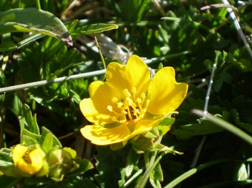 Alpine Spring Flower - Yellow Cinquifoil