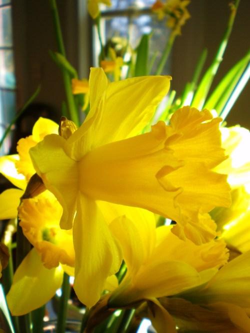 Triumphet Daffodils