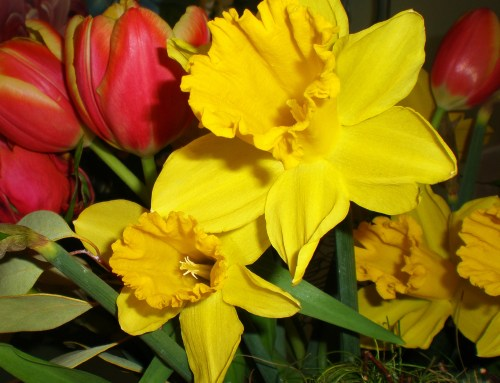 Daffodils and Rembrant Tulips