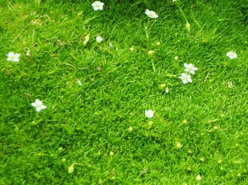 Spring Flowering Moss