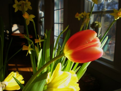 Daffodils and a Tulip in Dawn's Early Light