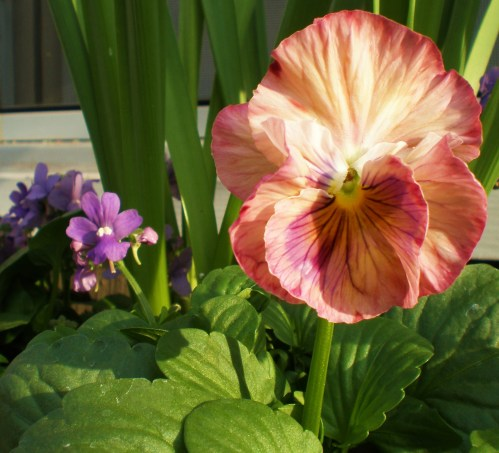 pansy-coral-ruffled-antique-shades
