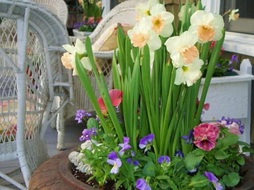 pansy-daffs-urn-wicker-21