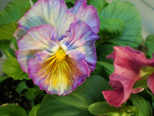 pansy-dark-purple-striated