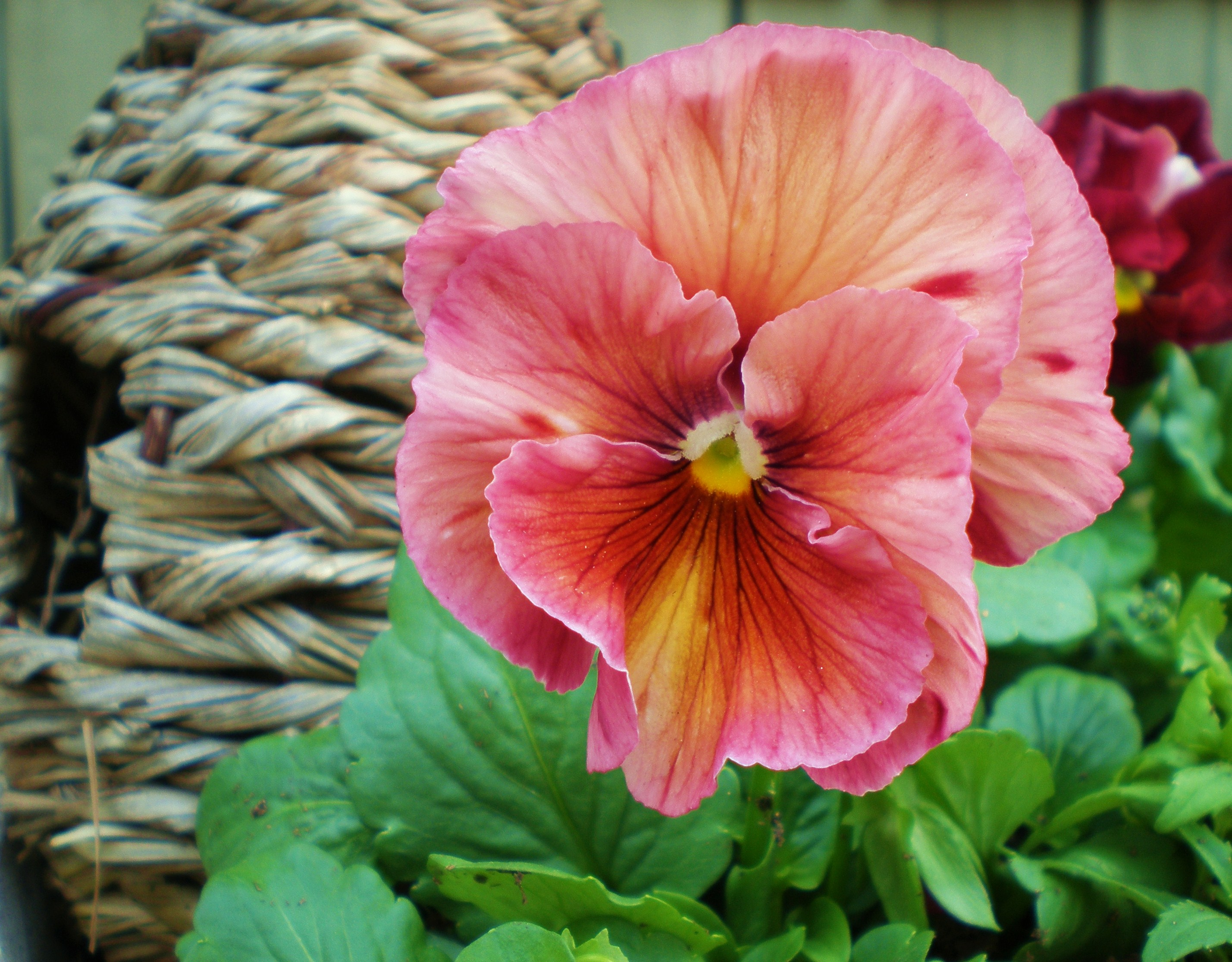 Pansy pink antique3 rose cottage gardens and farm 2230 pixels mightylinksfo Choice Image