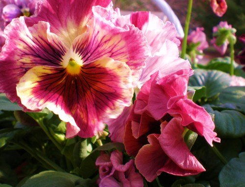 pansy-pink-ruffled-antique-shades