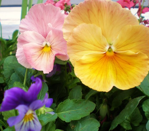 pansy-pink-yellow-and-viola2