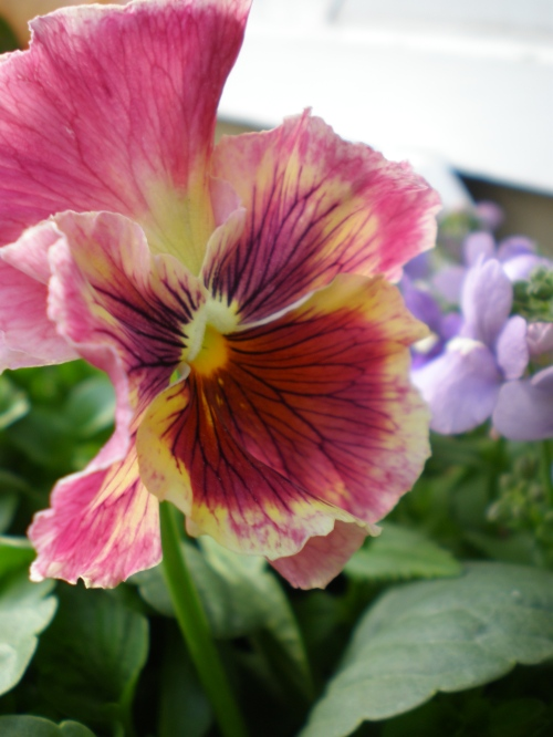 pansy-pink-yellow