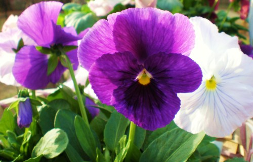 pansy-purple-and-white