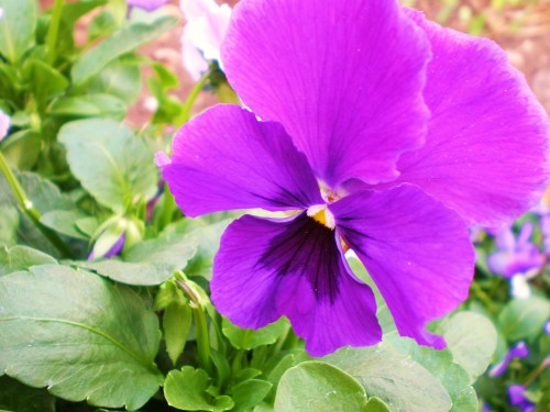 pansy-purple-single1