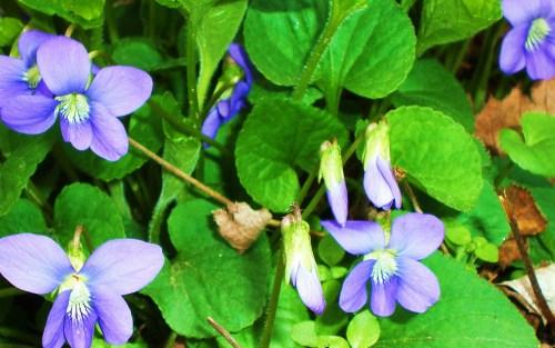 Blue Violets close