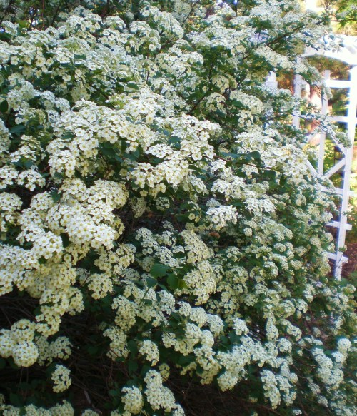 bridal wreath and east garden arbor