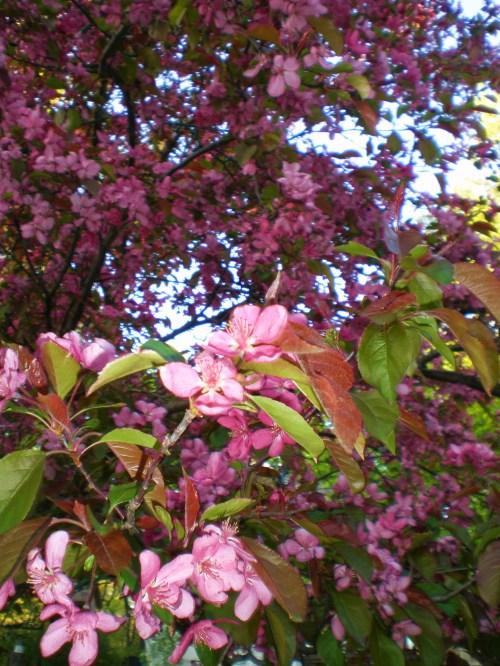 Flowering Crab Pink Close 3