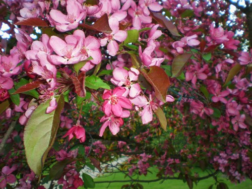Flowering Crab Pink Close
