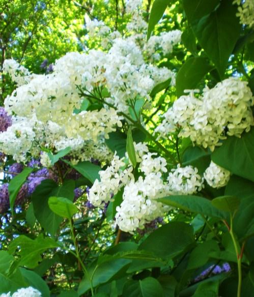 Lilac white 2