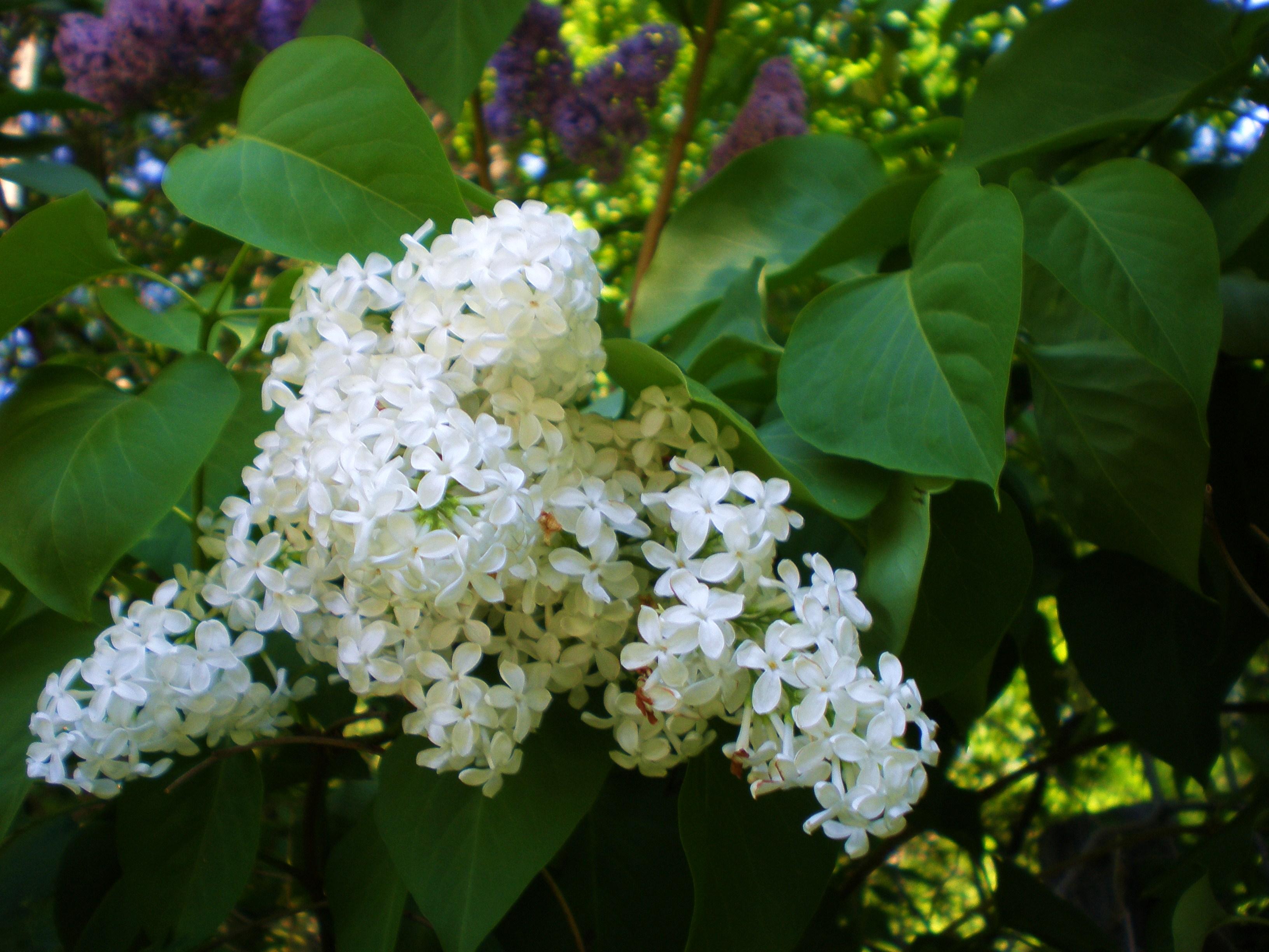 Flowering Shrubs Rose Cottage Gardens And Farm