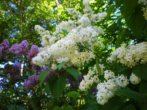 Lilacs- white and purple