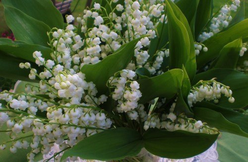 Lily of the Valley Close