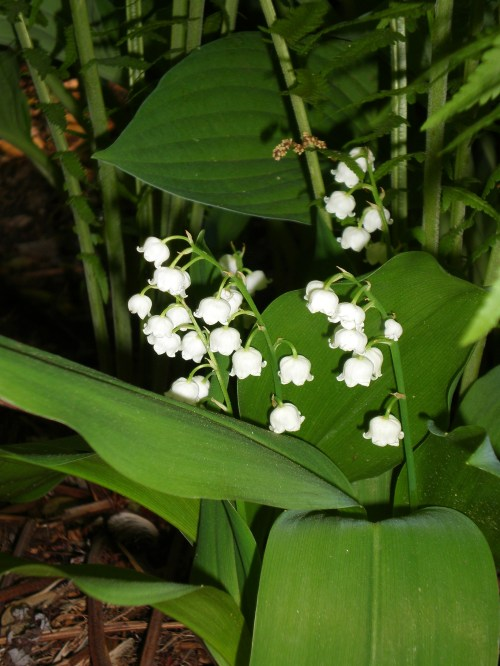 lily of the valley with fern and hosta
