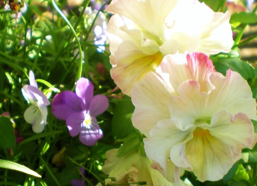 Pansies cream soft pink 3