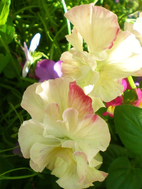 pansies cream soft pink 4