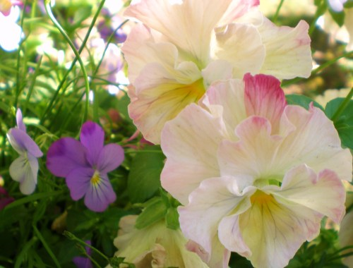 Pansies cream soft pink