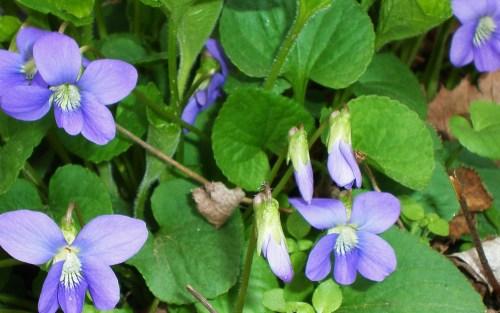 Violet Common
