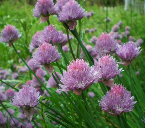 Chives3