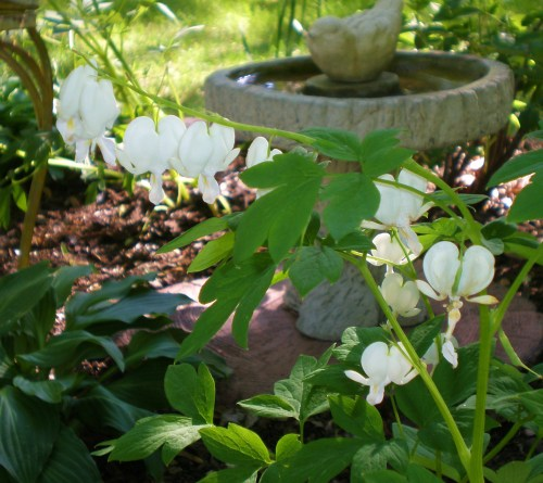 White Bleeding Heart and Bird Bath1