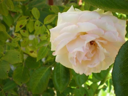 climbing roses white close dumas
