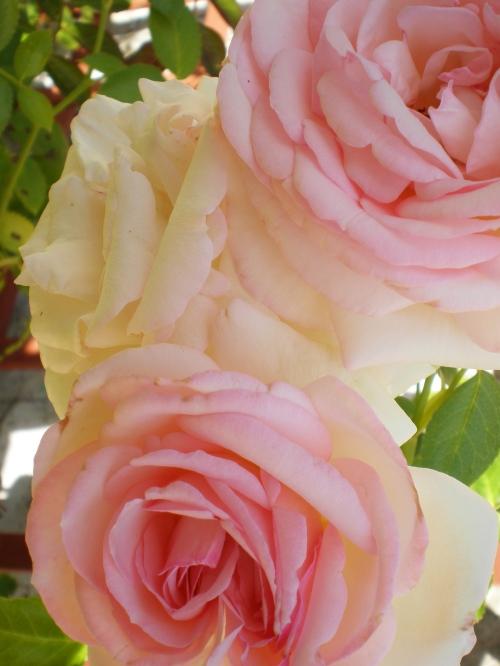 climbing roses close dumas