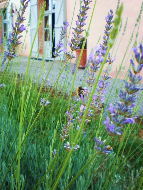 Lavender, Bee and Chateau