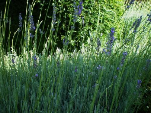 Lavender gardens fav 1