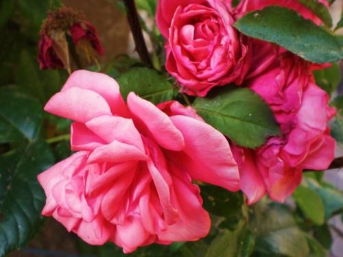 Pink Roses FAV