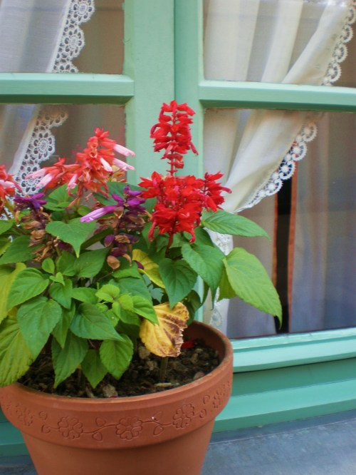 Pot of salvias on window ledge FAV