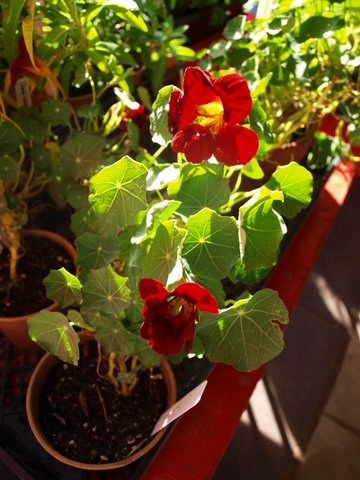 red flowering maple FAV