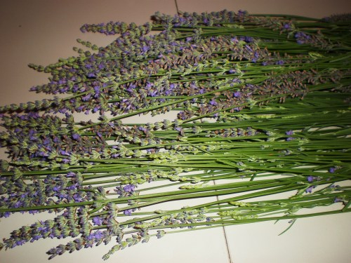 Some gathered lavender FAV 1