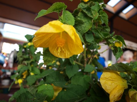 yellow flowering maple FAV