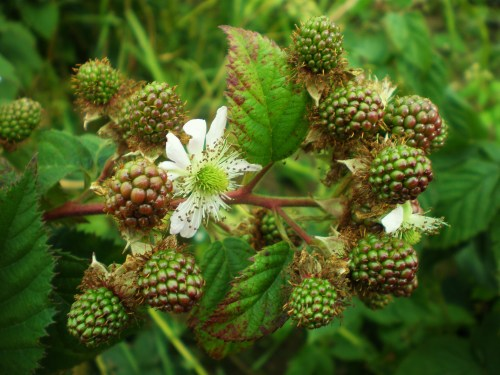 blackberries (unripe) and flower FAV2