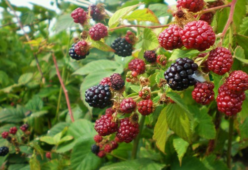 Blackberry clusters FAV