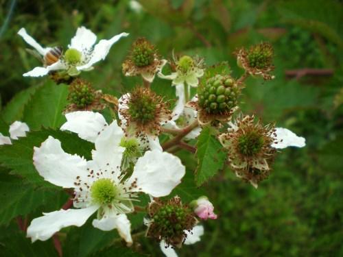 flowers, bud, berries and bee FAV