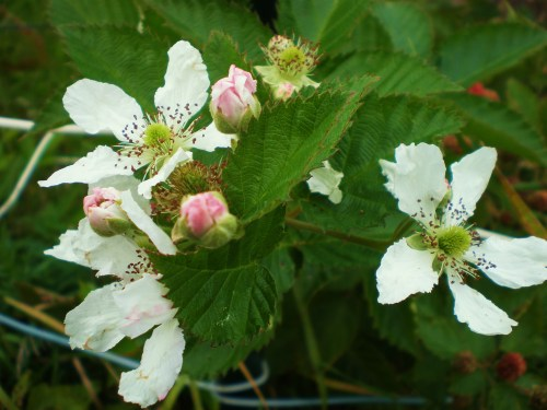 flowers bud, berry FAV