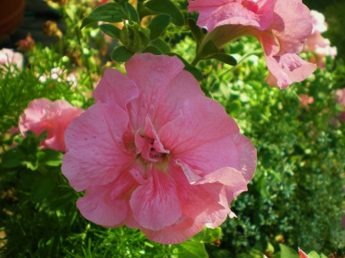 Petunia Double Pink FAV