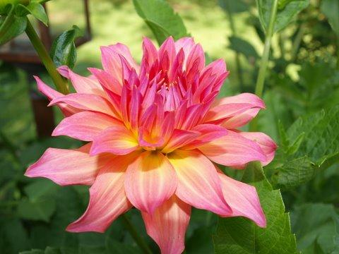 Pink Dahlia FAV