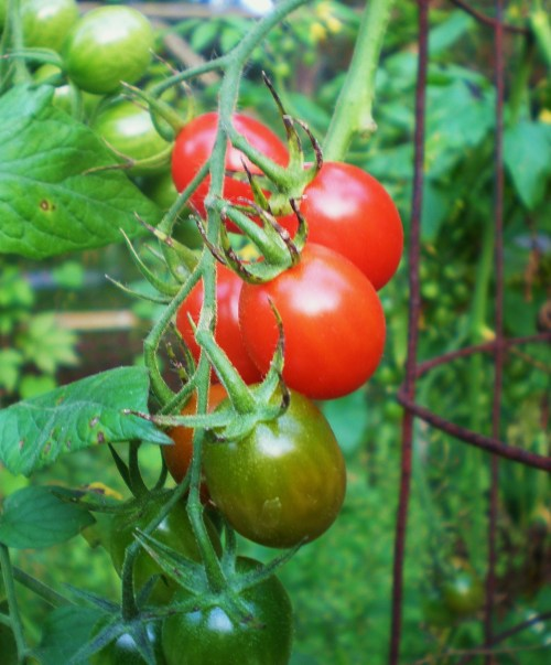 Sugar Plum Cherry Tomatoes FAV